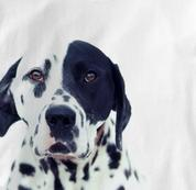 Dalmatian T Shirt Portrait WHITE Dog T Shirt Portrait T Shirt