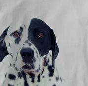 Dalmatian T Shirt Portrait GRAY Dog T Shirt Portrait T Shirt